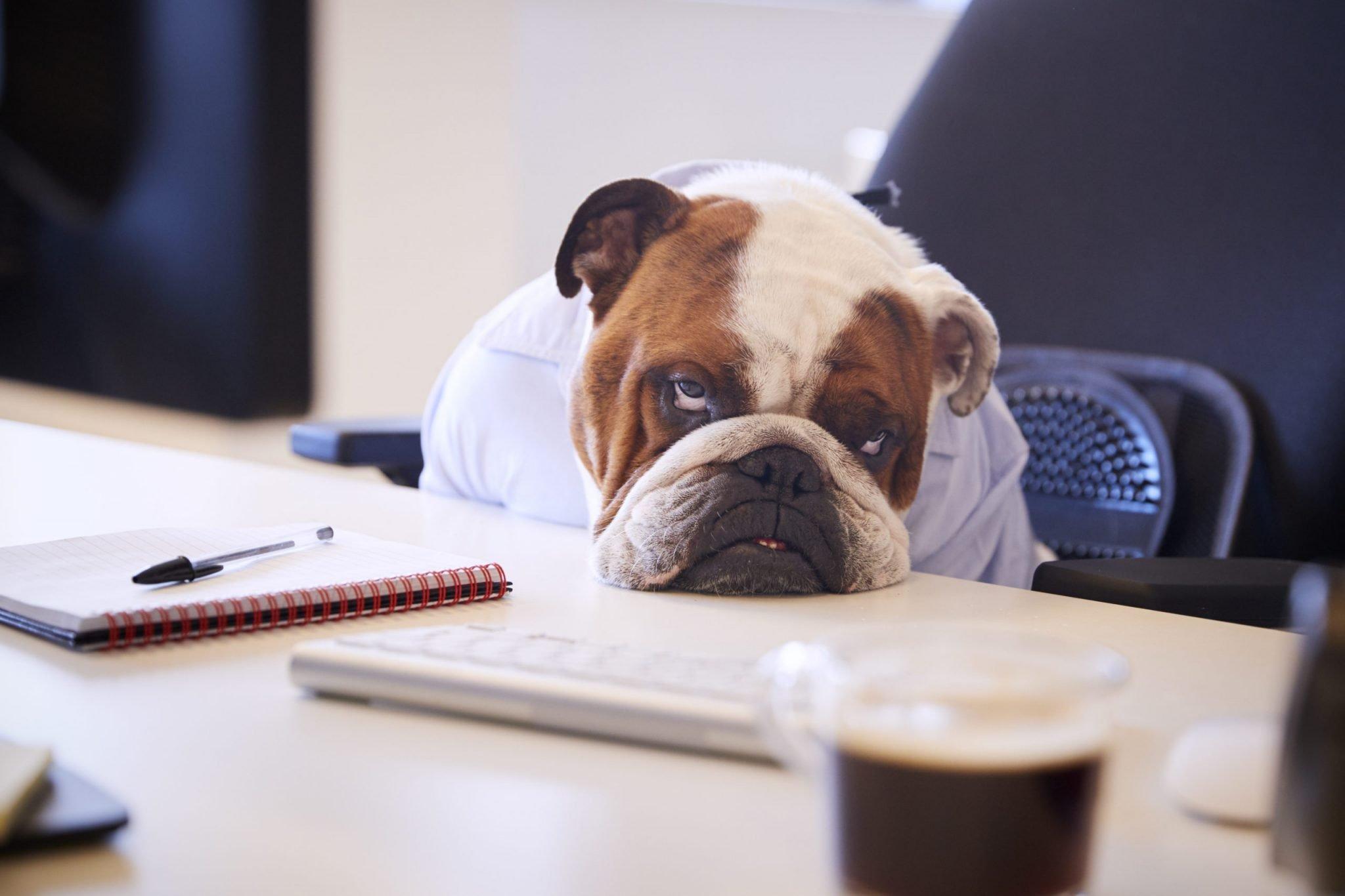 bulldog bored at business